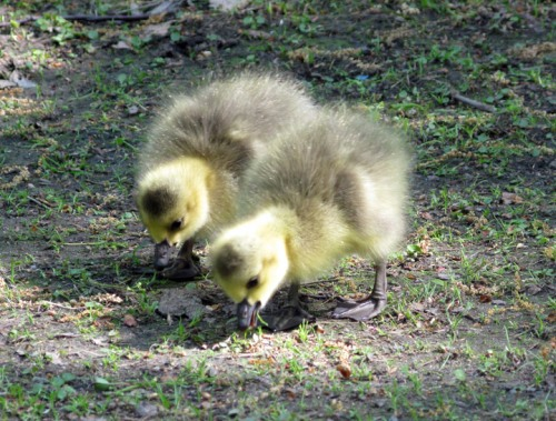 Beautiful goslings